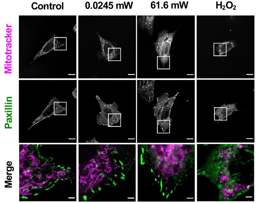 overhead illumination effect on phototoxicity of living cells
